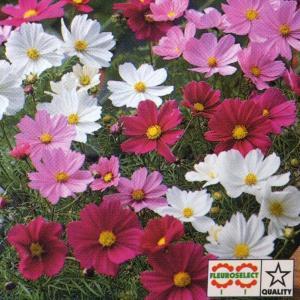 花の種(営利用) コスモス 矮性種 ソナタ プレミアムミックス 1000粒 タキイ種苗|vg-harada