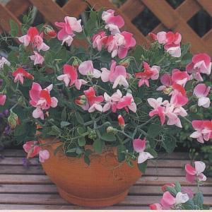 花の種(営利用) スイートピー 中矮性種 ピンクキューピット 20ml タキイ種苗|vg-harada