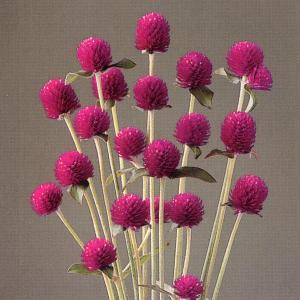 花の種(営利用) 千日紅 グロボーサ種 オードリー パープルレッド 10ml セミクリーンシード タキイ種苗|vg-harada
