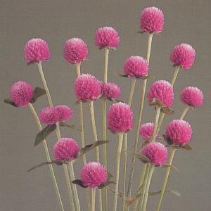 花の種(営利用) 千日紅 グロボーサ種 オードリー ピンクインプ 10ml セミクリーンシード タキイ種苗|vg-harada