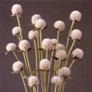 花の種(営利用) 千日紅 グロボーサ種 オードリー ホワイト 10ml セミクリーンシード タキイ種苗|vg-harada