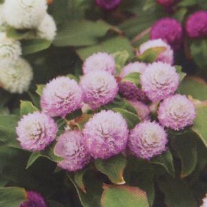 花の種(営利用) 千日紅 グロボーサ種 バディ ドワーフローズ 10ml   セミクリーンシード タキイ種苗|vg-harada