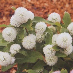 花の種(営利用) 千日紅 グロボーサ種 バディ ドワーフホワイト 10ml   セミクリーンシード タキイ種苗|vg-harada