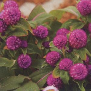 花の種(営利用) 千日紅 グロボーサ種 バディ ドワーフパープル 10ml  セミクリーンシード タキイ種苗|vg-harada