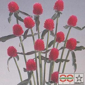 花の種(営利用) 千日紅 ハーゲアナ種 クイズカーマイン 10ml セミクリーンシード タキイ種苗|vg-harada