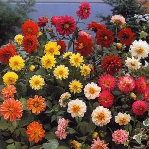 花の種(営利用) ダリア ピンボール 混合 10ml タキイ種苗|vg-harada