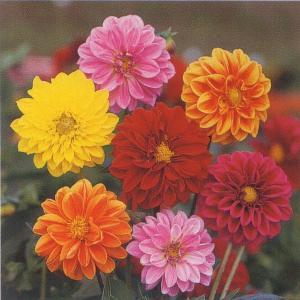 花の種(営利用) ダリア アーリー バード 20ml タキイ種苗|vg-harada