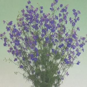 花の種(営利用) 千鳥草 ブルー スイング 10ml タキイ種苗|vg-harada