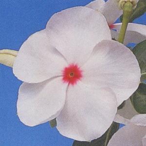 花の種(営利用) 日日草 パシフィカXP ポルカドット 1000粒 タキイ種苗 vg-harada