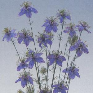 花の種(営利用) ニゲラ ブルー イスタンブール 10ml タキイ種苗|vg-harada