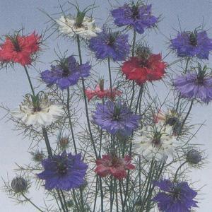 花の種(営利用) ニゲラ ミスジーキル 混合 1dl タキイ種苗 vg-harada