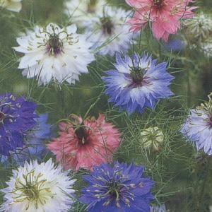 花の種(営利用) ニゲラ ペルシャン ジュエル 1dl タキイ種苗|vg-harada