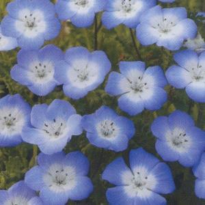 花の種(営利用)ネモフィラ インシグニス ブルー 10ml タキイ種苗(メール便発送)|vg-harada