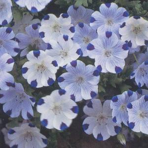 花の種(営利用)ネモフィラ マクラタ 10ml タキイ種苗(メール便発送)|vg-harada