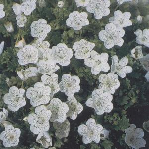 花の種(営利用)ネモフィラ スノーストーム 10ml タキイ種苗(メール便発送)|vg-harada