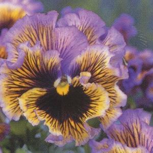 花の種(営利用) パンジー 大輪種 F1フリズルシズル イエローブルースワール 1000粒 タキイ種苗 vg-harada
