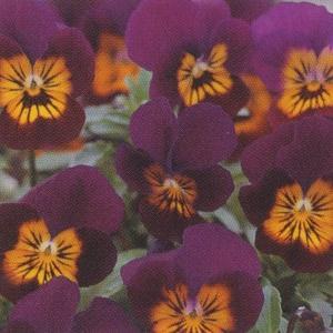 花の種(営利用)ビオラ F1フローラルパワー系 F1フローラルパワー パープルタイガーアイ 1000粒 タキイ種苗|vg-harada