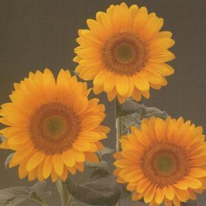 花の種(営利用) F1サンリチ ひまわり 55日タイプ F1サンリチ フレッシュオレンジα(TH-713) 1000粒 タキイ種苗 vg-harada