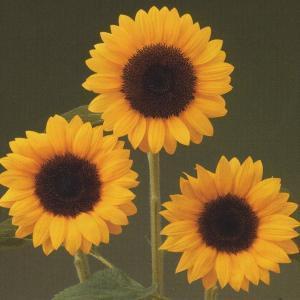 花の種(営利用) F1サンリチ ひまわり 55日タイプ F1DMRサンリッチ オレンジ 1000粒 タキイ種苗 vg-harada