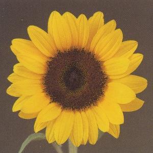 花の種(営利用) F1サンリチ ひまわり 55日タイプ F1サンリチ レモン 1000粒 タキイ種苗 vg-harada