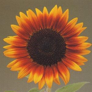 花の種(営利用) ひまわり 高性種 F1ソーラーパワー 1000粒 タキイ種苗 vg-harada
