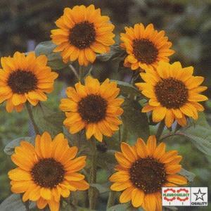 花の種(営利用)ひまわり 高性種 F1ソニア 1dl タキイ種苗(メール便発送)