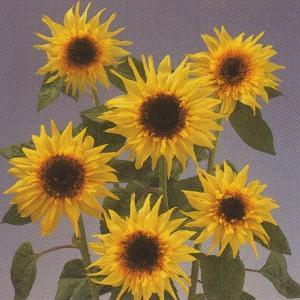 花の種(営利用)ひまわり 高性種 F1 レモン エクレア 1dl タキイ種苗(メール便発送)