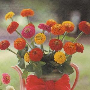 花の種(営利用)百日草 高性種 サンボウ 混合 1dl タキイ種苗