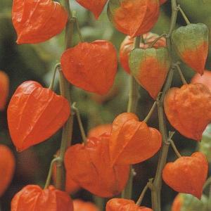 花の種(営利用) ほおずき 丹波ほおずき 10ml タキイ種苗|vg-harada