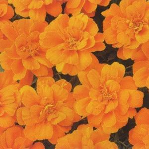 花の種(営利用) マリーゴールド フレンチ種 デュランゴ タンジェリン 1000粒 タキイ種苗|vg-harada