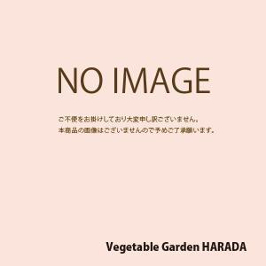 花の種(営利用) マリーゴールド アフリカン種 万寿菊高性大輪 混合(アフリカントール) 1dl タキイ種苗|vg-harada