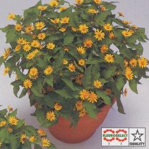 花の種(営利用) メランポディウム ミリオン ゴールド 1d...