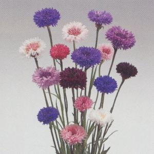 花の種(営利用) 矢車草 八重咲き 混合 10ml タキイ種苗|vg-harada