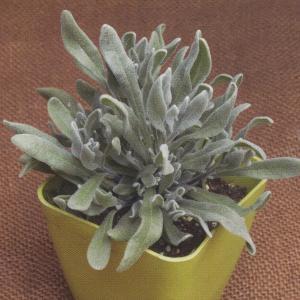 花の種(営利用) ラベンダー ウーリー 1000粒 タキイ種苗(メール便可能)|vg-harada