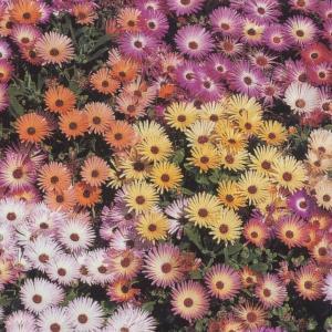花の種(営利用)リビングストンデージー リビングストン デージー 10ml タキイ種苗(メール便発送)|vg-harada