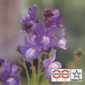 花の種(営利用) リナリア ブルー グッピー 1ml タキイ種苗(メール便可能)