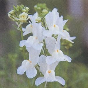 花の種(営利用) リナリア ホワイト グッピー 1ml タキイ種苗(メール便可能)