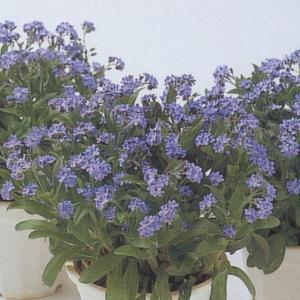 花の種(営利用)忘れな草 ドワーフ ブルー 10ml タキイ種苗(メール便発送)|vg-harada