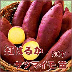 大人気!野菜の苗 紅はるか べにはるか ベニハルカ ・サツマイモ さつま サツマ 苗 50本入り(4月下旬より順次発送)|vg-harada