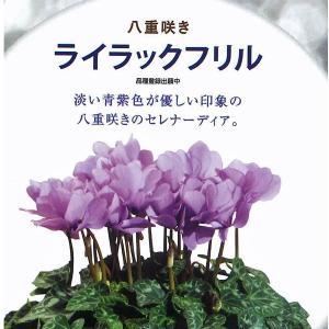 数量限定!送料無料 花の苗 鉢花 セレナーディア ライラックフリル 5号花鉢/1ポット サントリー|vg-harada
