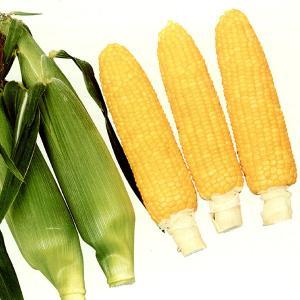 野菜の種/種子 ゴールドラッシュネオ・とうもろこし トウモロコシ 2000粒(大袋)サカタのタネ 種苗|vg-harada