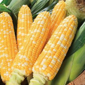 野菜の種/種子 しあわせコーン・とうもろこし トウモロコシ 2000粒(大袋)サカタのタネ|vg-harada
