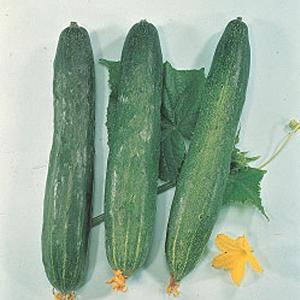野菜の種/種子 霜知らず地這・キュウリ きゅうり 350粒(メール便可能/大袋)タキイ種苗|vg-harada