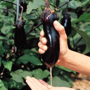 野菜の種/種子 みず茄・ナス 茄子 なす 2000粒(大袋)タキイ種苗|vg-harada