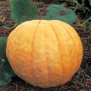 野菜の種/種子 アトランチック ジャイアント・コンテスト用パンプキン カボチャ かぼちゃ 1dl(メール便可能)タキイ種苗|vg-harada