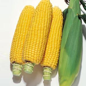 野菜の種/種子 キャンベラ86・とうもろこし トウモロコシ 100粒(メール便可能)タキイ種苗|vg-harada
