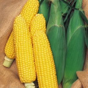 野菜の種/種子 ランチャー82・とうもろこし トウモロコシ 2000粒(大袋)タキイ種苗|vg-harada