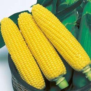 野菜の種/種子 おひさまコーン・とうもろこし トウモロコシ 60粒(メール便可能)タキイ種苗|vg-harada