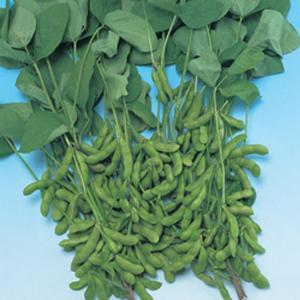 野菜の種/種子 早生黒頭巾・えだまめ 100ml(メール便可能)タキイ種苗|vg-harada