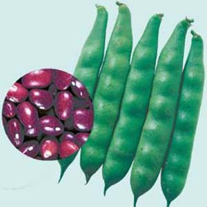 野菜の種/種子 本金時・つるなしいんげん 60ml(メール便可能)タキイ種苗|vg-harada
